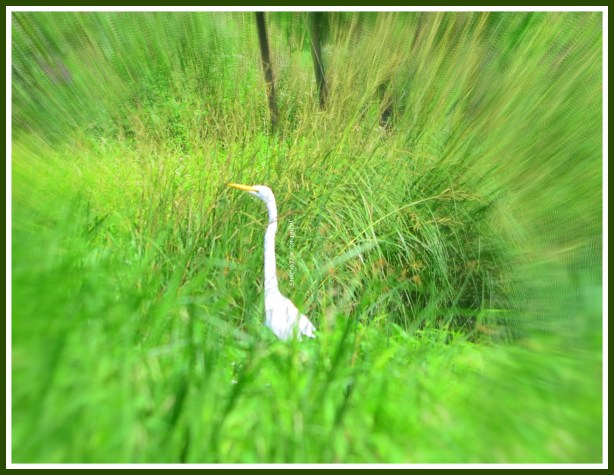 egret copyright janet m. webb 2015