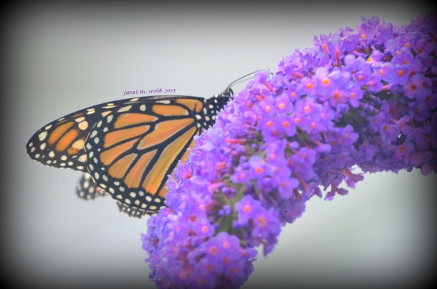 monarch copyright janet m. webb 2015