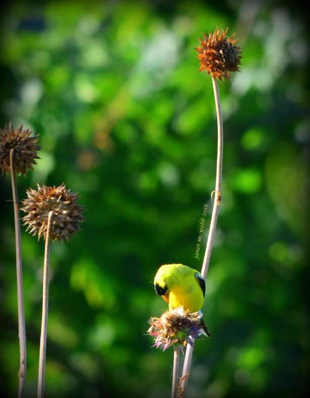Goldfinches copyright janet m. webb 2015