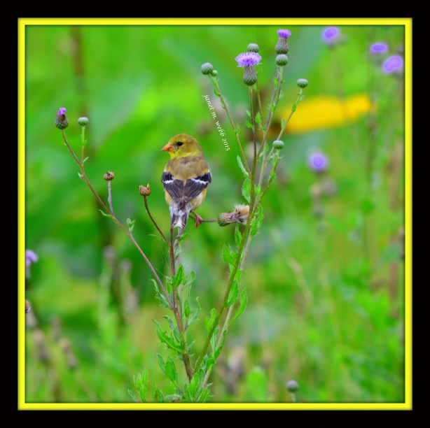 Goldfinch copyright janet m. webb 2015