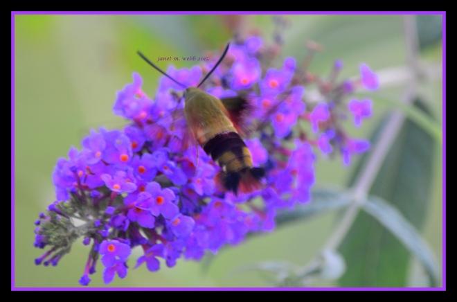 hummingbird moth copyright janet m. webb 2015