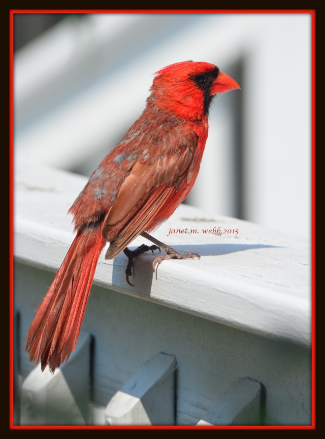 cardinal copyright janet m. webb 2015