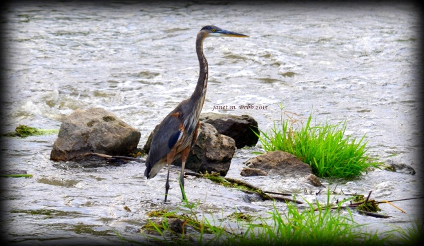 Heron copyright janet m. webb 2015