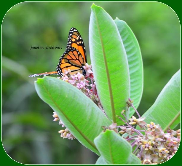monarch copyright janet m. webb 2015
