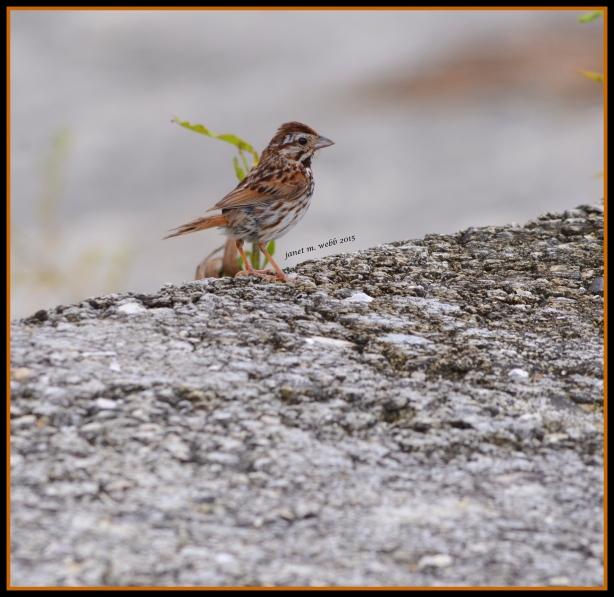sparrow copyright janet m. webb 2015