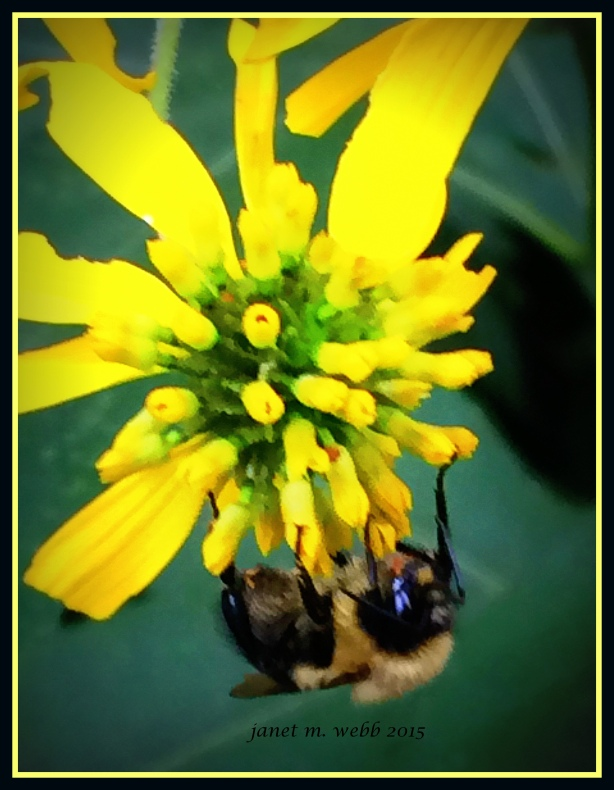bumblebee copyright janet m. webb 2014