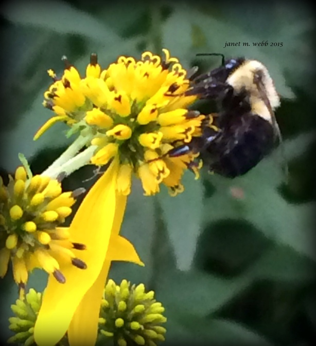 bumblebee copyright janet m. webb 2015