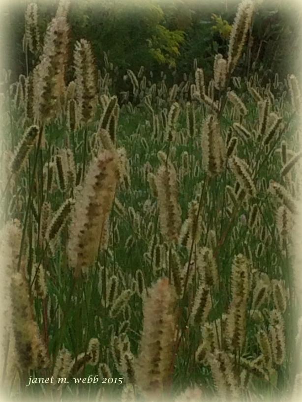 fuzzy grasses copyright janet m. webb 2015