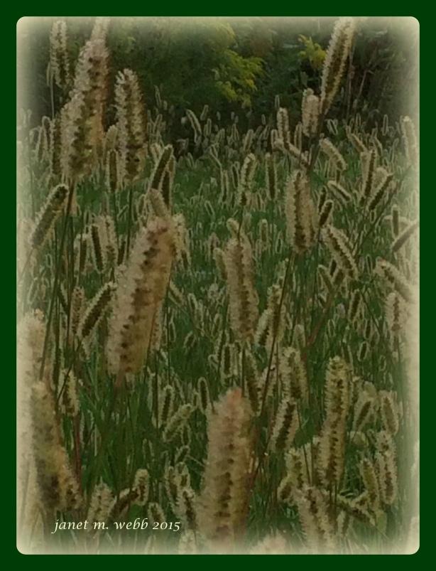 Fuzzy grass copyright janet m. webb 2015