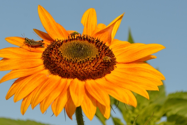 sunflower copyright janet m. webb 2013